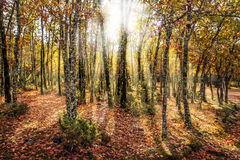 Beautiful autumn forest scene showing sunlight through trees Royalty Free Stock Image