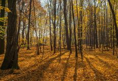 Beautiful autumn forest with shadows from trees. Panoramic photo of a warm autumn day in the forest. royalty free stock images
