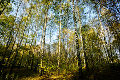Beautiful autumn forest Royalty Free Stock Image