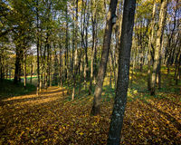 Beautiful autumn forest Stock Photography