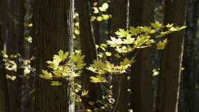 Beautiful Autumn in the Forest. Autumn in the Forest Yellow Leaves Swaying Gently with the Wind stock footage