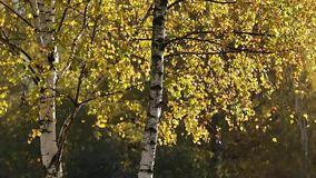 Beautiful Autumn in the Forest. Autumn in the Forest Yellow Leaves Swaying Gently with the Wind stock video
