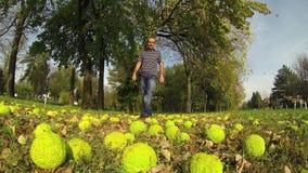 Beautiful autumn Hedgeball (Maclura pomifera) in the Grass. stock footage