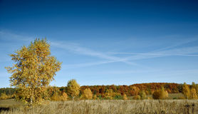 Beautiful autumn landscape colored in yellow birch forest Stock Photography