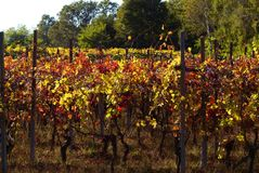 Beautiful Autumn Landscape With Multi-Colored Lines Of Vineyards Grapevines. Autumn Color Vineyard Stock Images