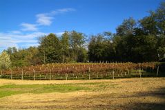 Beautiful Autumn Landscape With Multi-Colored Lines Of Vineyards Grapevines. Autumn Color Vineyard Stock Photo