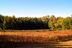 Beautiful Autumn Landscape With Multi-Colored Lines Of Vineyards Grapevines. Autumn Color Vineyard Stock Photos
