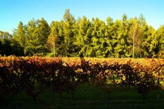 Beautiful Autumn Landscape With Multi-Colored Lines Of Vineyards Grapevines. Autumn Color Vineyard Royalty Free Stock Images