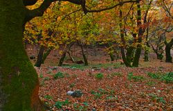 Beautiful autumn landscape from Planitero in Kalavryta, Greece. Vivid vibrant colorful sycamore plane trees and leaves stock photos