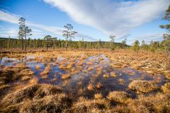 A beautiful autumn landscape with a swamp in Femundsmarka National Park in Norway. Colorful autumn scenery. Wet forest in Norway Stock Image