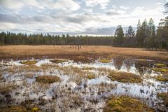 A beautiful autumn landscape with a swamp in Femundsmarka National Park in Norway. Colorful autumn scenery. Wet forest in Norway Royalty Free Stock Images