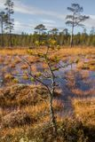 A beautiful autumn landscape with a swamp in Femundsmarka National Park in Norway. Colorful autumn scenery. Wet forest in Norway Stock Photo