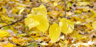 Falling leaves natural background. Shallow depth of field. Focus on the foreground. Wide photo. Beautiful autumn landscape with trees . Colorful foliage in the royalty free stock photo