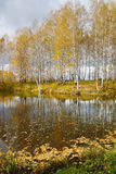 Beautiful autumn landscape with yellow birches at the lake shore Stock Image