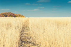 Beautiful autumn landscape with yellow field and blue sky Stock Images