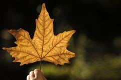Beautiful autumn leaf. Child hand with beautiful yellow autumn leaf Royalty Free Stock Photo