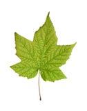 Beautiful autumn leaf Royalty Free Stock Photography