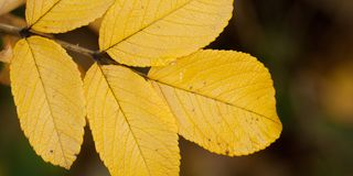 Autumn dog rose leaf, close-up. Beautiful autumn leaf of dog rose, close-up stock images