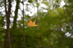 Beautiful autumn leaf falling from the tree in the forest. Stock Images