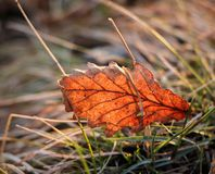 beautiful autumn leaf on the grass royalty free stock photos
