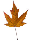 Beautiful autumn leaf macro, studio isolated over whie backgroun Stock Photos