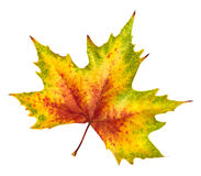 Beautiful autumn leaf, rich in color and detail Royalty Free Stock Photo