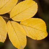 Autumn dog rose leaf, close-up. Beautiful autumn leaf of wild rose, close-up royalty free stock photo