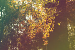 Beautiful autumn leaved trees Royalty Free Stock Photography