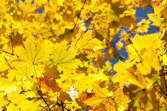 Beautiful autumn leaves Stock Image