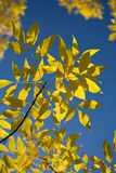 Beautiful autumn leaves against blue sky Stock Image