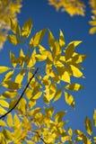 Beautiful autumn leaves against blue sky Stock Image