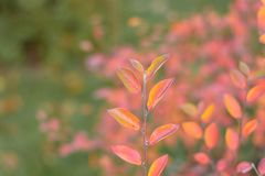 Beautiful autumn leaves on a branch of dogwood bush in the garden with colorful background stock photography