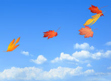 Beautiful autumn leaves carried on a breeze. Cool autumn breeze carrying freshly fallen leaves through the air royalty free stock photo