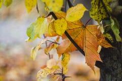 Beautiful autumn leaves closeup, very shallow focus, selective focus stock image