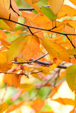 Beautiful Autumn Leaves Colored Orange, Yellow, Red, Green and P Stock Photo