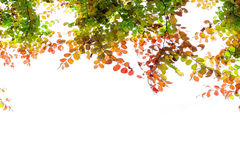 beautiful autumn leaves frame isolated on white background. Royalty Free Stock Photo