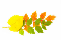 Beautiful Autumn Leaves / isolated on white Royalty Free Stock Image