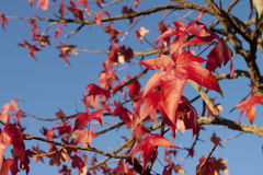 Beautiful autumn leaves maple Stock Photo