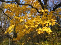 Autumn bright yellow maple tree. Beautiful autumn leaves of maple tree Stock Images