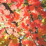 Beautiful autumn leaves. Beautiful red autumn leaves of a Japanese maple tree Stock Photography