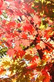 Beautiful autumn leaves. Beautiful red autumn leaves of a Japanese maple tree Stock Image