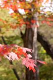 Beautiful autumn leaves. Beautiful red autumn leaves of a Japanese maple tree Royalty Free Stock Image