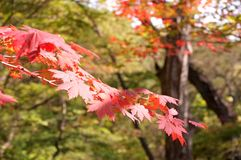 Beautiful autumn leaves. Beautiful red autumn leaves of a Japanese maple tree Stock Photos