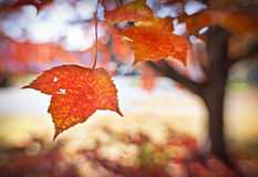 Beautiful autumn leaves Royalty Free Stock Image