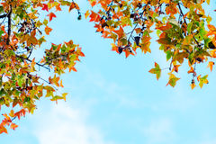 Beautiful autumn leaves and sky background in fall season,. Colorful maple foliage tree in the autumn park, Autumn trees Leaves in vintage color tone Stock Photos