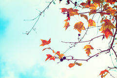 Beautiful autumn leaves and sky background in fall season, Royalty Free Stock Images