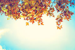 Beautiful autumn leaves and sky background in fall season Royalty Free Stock Photo