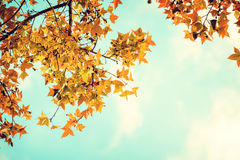 Beautiful autumn leaves and sky background in fall season Royalty Free Stock Image