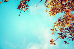 Beautiful autumn leaves and sky background in fall season, Royalty Free Stock Photo