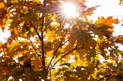 Beautiful Autumn Leaves with Sunlight Shining Royalty Free Stock Image